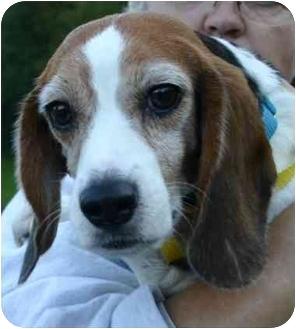 Beagle Dog for adoption in Portland, Oregon - Aurora