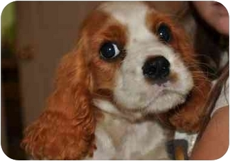 Cavalier King Charles Spaniel Puppy for adoption in SLC, Utah - Gobi