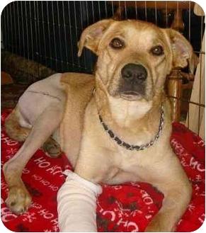 Labrador Retriever Mix Dog for adoption in Scottsdale, Arizona - Jacob (Flagstaff)