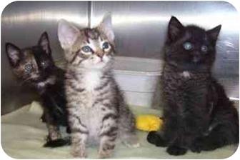 Domestic Mediumhair Kitten for adoption in Osceola, Arkansas - 3 kittens
