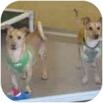 Chihuahua Mix Dog for adoption in Eatontown, New Jersey - Jack and Jill