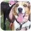 Photo 1 - Beagle Dog for adoption in Portland, Ontario - T