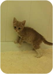 Domestic Shorthair Kitten for adoption in New York, New York - Alexa