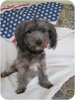 Yorkie, Yorkshire Terrier/Poodle (Miniature) Mix Dog for adoption in Mount Gretna, Pennsylvania - Boots