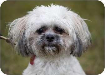 Shih Tzu Mix Dog for adoption in Ile-Perrot, Quebec - Crescent