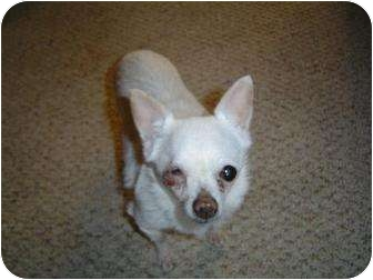 Chihuahua Dog for adoption in Seattle, Washington - Rosie 1 peep #139