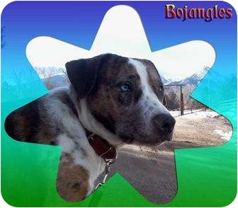 Catahoula Leopard Dog/American Pit Bull Terrier Mix Dog for adoption in Howard, Colorado - Bo Jangles