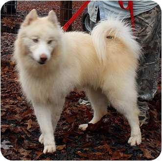 Siberian Husky Mix Dog for adoption in Augusta County, Virginia - Winterbelle