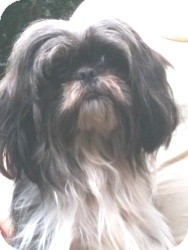 Shih Tzu Dog for adoption in geneva, Florida - Oscar