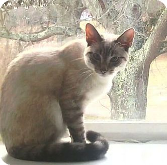 Siamese Cat for adoption in Port Republic, Maryland - Neko