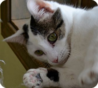 "Turkish Van Cat for adoption in Scottsburg, Indiana - ""  Nan """
