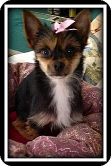 Yorkie, Yorkshire Terrier/Chihuahua Mix Dog for adoption in Indian Trail, North Carolina - Baliey