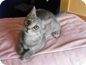 Domestic Shorthair Kitten for adoption in Phoenix, Arizona - Tammy