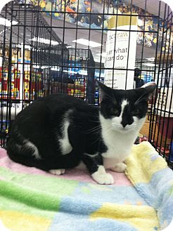 Domestic Shorthair Kitten for adoption in San Dimas, California - Bruce, Sally and Cookie