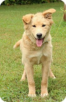 Golden Retriever/Husky Mix Puppy for adoption in Windham, New Hampshire - Chloe