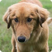 Adopt A Pet :: *Brother Bear - PENDING - Westport, CT