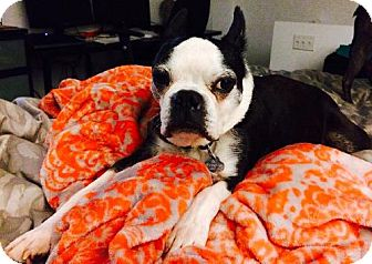 Boston Terrier Dog for adoption in Various Locations, Florida - Puggy Pudgie Wudgie FL-PIN