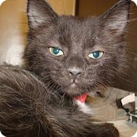 Domestic Mediumhair Cat for adoption in Miami, Florida - Nate