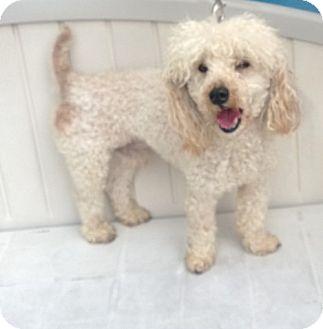 Poodle (Miniature) Dog for adoption in Myakka City, Florida - Pierre
