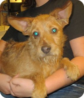 Schnauzer (Miniature)/Terrier (Unknown Type, Small) Mix Puppy for adoption in Westport, Connecticut - Jack Smith