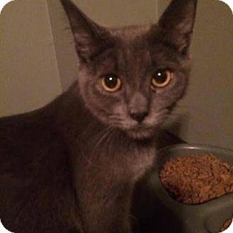 Domestic Shorthair Cat for adoption in Hamilton, Ontario - Booboo