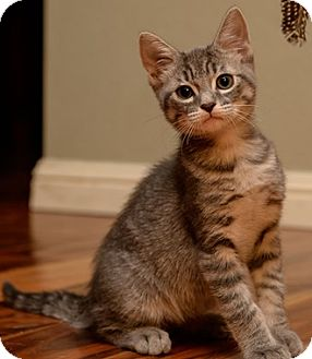 Domestic Shorthair Kitten for adoption in North Highlands, California - ScoutS