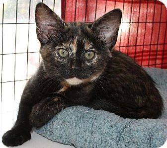 Domestic Shorthair Cat for adoption in Lovingston, Virginia - Amelia (PSP)
