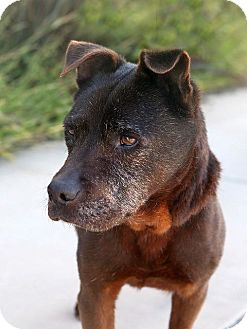 American Staffordshire Terrier/Shar Pei Mix Dog for adoption in Berkeley, California - Teddy
