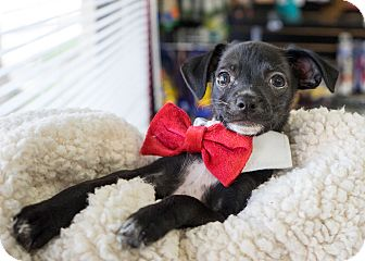 Chihuahua/Terrier (Unknown Type, Small) Mix Puppy for adoption in Montclair, California - Mary