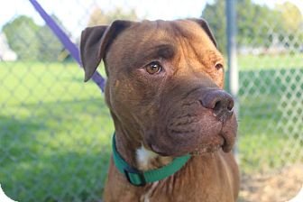 American Staffordshire Terrier Mix Dog for adoption in Danville, Illinois - DIESEL