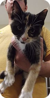 Domestic Shorthair Kitten for adoption in Cheboygan, Michigan - Calie