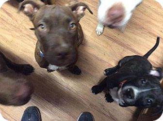 Boxer Mix Puppy for adoption in Phoenix, Arizona - Georgia