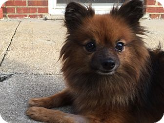 Pomeranian Mix Dog for adoption in Bronx, New York - Roxy