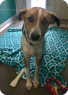 Hound (Unknown Type)/Shepherd (Unknown Type) Mix Dog for adoption in Wilmington, Delaware - Celina