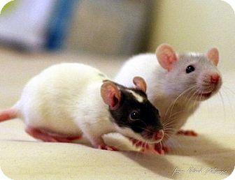 Rat for adoption in Kingston, Ontario - Sarah and Jane