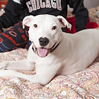 Staffordshire Bull Terrier Mix Dog for adoption in Villa Park, Illinois - Polly