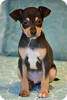 Miniature Pinscher Mix Puppy for adoption in Allentown, Pennsylvania - Baloo