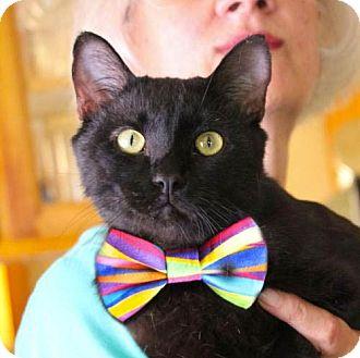 Domestic Shorthair Cat for adoption in Studio City, California - Sid: dog & cat buddy