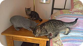 Domestic Shorthair Kitten for adoption in Raleigh, North Carolina - 4 SWEET KITTENS