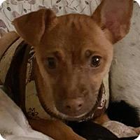 Adopt A Pet :: Blitz - Denver, CO