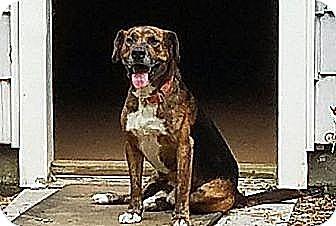 Beagle/Retriever (Unknown Type) Mix Dog for adoption in Twinsburg, Ohio - Buckshot(40 lb) Best Dog Ever!