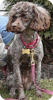 Poodle (Miniature) Dog for adoption in Winfield, Pennsylvania - Mina
