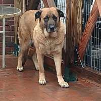 English Mastiff/German Shepherd Dog Mix Dog for adoption in Mocksville, North Carolina - Belle