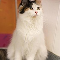 Adopt A Pet :: Starling - Mt. Pleasant, MI