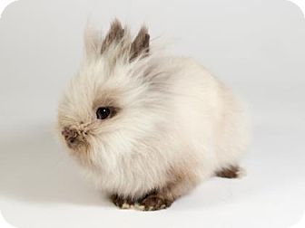 Lionhead for adoption in Kingston, Ontario - Rigby