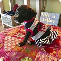 Adopt A Pet :: Maggie Twilight Sparkle - Ft. Myers, FL