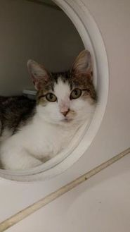 Domestic Shorthair/Domestic Shorthair Mix Cat for adoption in Mount Vernon, Ohio - Sunflower