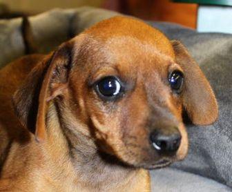 Dachshund Mix Dog for adoption in Von Ormy, Texas - Brownie