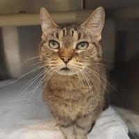 Domestic Shorthair/Domestic Shorthair Mix Cat for adoption in Oak Park, Illinois - May