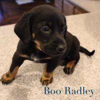 Adopt A Pet :: Boo Radley - Olathe, KS